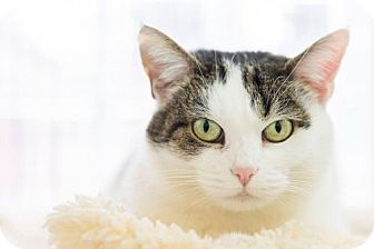 Domestic Shorthair Cat for adoption in Parma, Ohio - Moon