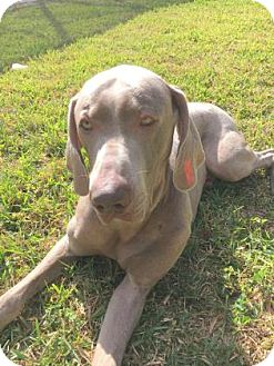 Weimaraner Dog for adoption in Sarasota, Florida - Smokey
