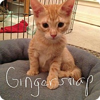 Adopt A Pet :: Gingersnap - Wichita Falls, TX