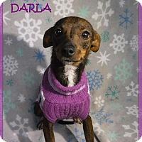Adopt A Pet :: Darla - Batesville, AR