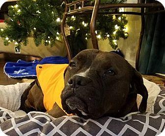Pit Bull Terrier/Labrador Retriever Mix Dog for adoption in Houston, Texas - Groot