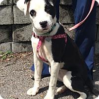 Adopt A Pet :: Ivy - Albany, NY