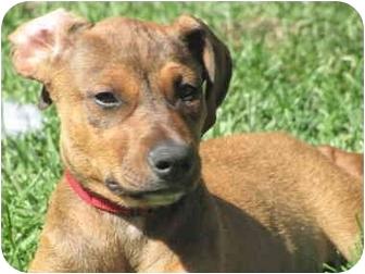 Rosie Adopted Puppy Whittier Ca Doberman Pinscher Rhodesian Ridgeback Mix