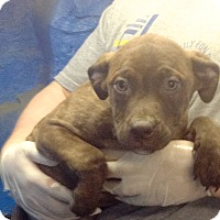 Adopt A Pet :: 9 Lab mix pups - Pompton lakes, NJ