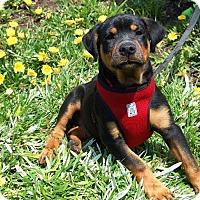 Adopt A Pet :: Quinn - West Los Angeles, CA