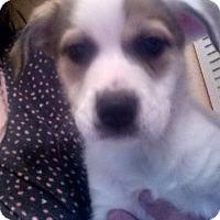 Adopt A Pet :: Darla - Tampa, FL