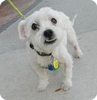 Poodle (Miniature)/Bichon Frise Mix Dog for adoption in Umatilla, Florida - Jackson