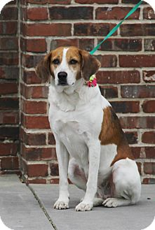 Hound (Unknown Type) Mix Dog for adoption in Summerville, South Carolina - Teri