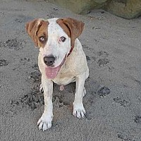Labrador Retriever/Beagle Mix Puppy for adoption in Valley Center, California - Petey