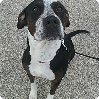 Border Collie/American Pit Bull Terrier Mix Dog for adoption in Joliet, Illinois - Eve