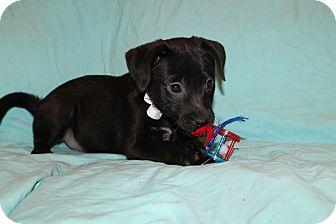 Labrador Retriever Mix Puppy for adoption in Trenton, New Jersey - Jason (adopted)