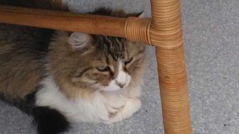 Domestic Longhair Cat for adoption in El Cajon, California - Isabella