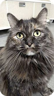Domestic Longhair Cat for adoption in Overland PArk, Kansas - Gigi