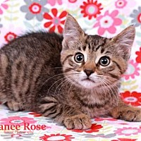 Adopt A Pet :: Tinker - Sterling Heights, MI