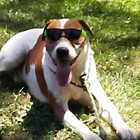 Foxhound Mix Dog for adoption in Charlotte, North Carolina - Bandit