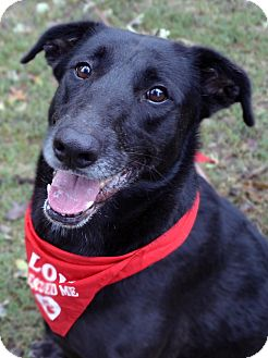 Labrador Retriever Mix Dog for adoption in Fort Worth, Texas - Wrapper