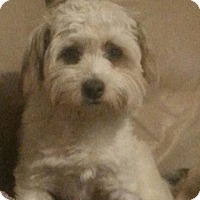 Adopt A Pet :: Scamper - Greeley, CO