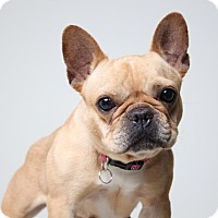 French Bulldog Dog for adoption in Edina, Minnesota - Nalla D161537: PENDING ADOPTION