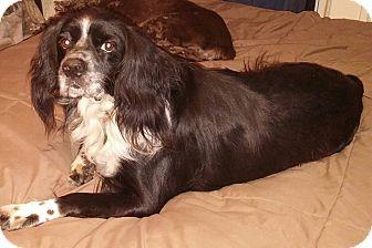 Border Collie/Cocker Spaniel Mix Dog for adoption in Cape Coral, Florida - Remi