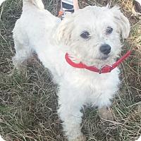 Adopt A Pet :: Smoochie- Poodle x- 10 lbs - Gaffney, SC