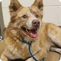 Adopt A Pet :: Knight #163250 - Apple Valley, CA