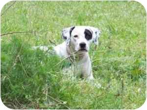 Allie   Adopted Dog   Houston, TX   Dogo Argentino/Black ...