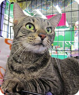 Domestic Shorthair Cat for adoption in Seminole, Florida - Gemma