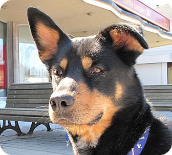 German Shepherd Dog/Husky Mix Dog for adoption in Rigaud, Quebec - Duke