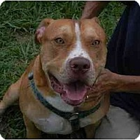 Terrier (Unknown Type, Medium)/American Bulldog Mix Dog for adoption in Orlando, Florida - Bubba
