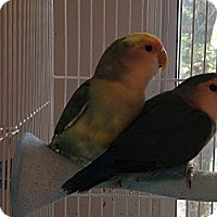 Adopt A Pet :: Lovebirds - St. Louis, MO