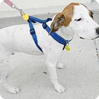 Adopt A Pet :: Hank - Umatilla, FL