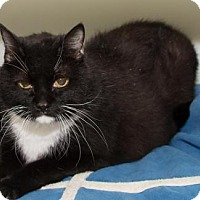 Adopt A Pet :: Bootsie (3) - Ashland, MA