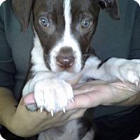 Adopt A Pet :: Loki - El Paso, TX