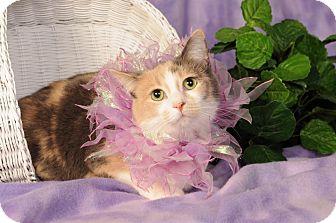 Domestic Shorthair Cat for adoption in mishawaka, Indiana - Skittles