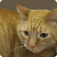 Domestic Shorthair Cat for adoption in Rochester, New York - Lila
