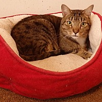 Domestic Shorthair Cat for adoption in Speedway, Indiana - Dalton