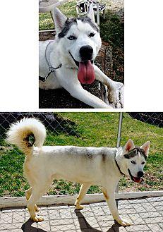 Siberian Husky Mix Dog for adoption in Boyertown, Pennsylvania - Rocco