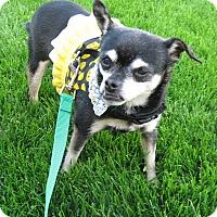 Adopt A Pet :: Chiquita-Fajita - Columbus, OH - Dayton, OH