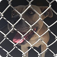 Adopt A Pet :: Beach Girl - Bloomfield, CT