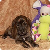 Adopt A Pet :: Darcy - Spring Valley, NY