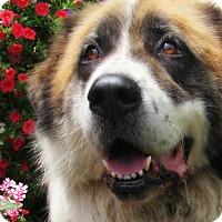 Adopt A Pet :: Majesty - Kyle, TX