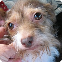 Terrier (Unknown Type, Small) Mix Dog for adoption in Sun Valley, California - Lucy