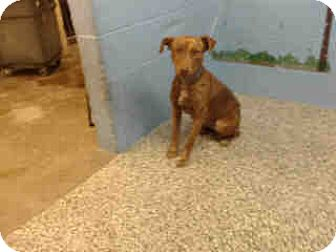 Pit Bull Terrier Mix Dog for adoption in San Bernardino, California - URGENT ON 10/22 San Bernardino