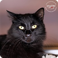 Domestic Mediumhair Cat for adoption in Lyons, New York - Mitchell