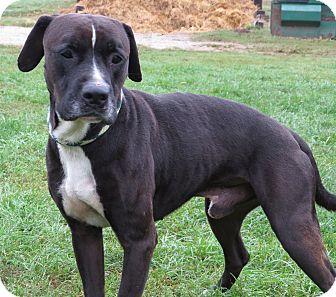 Labrador Retriever/Boxer Mix Dog for adoption in Unionville, Pennsylvania - Kippy