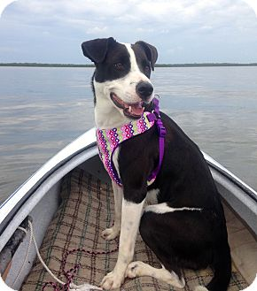Border Collie/Labrador Retriever Mix Dog for adoption in Ft Myers Beach, Florida - Perfect size, Perfect Ava!