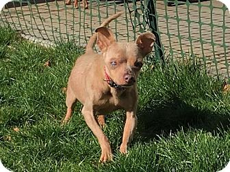 Chihuahua Dog for adoption in Pittsburgh, Pennsylvania - Pepe #3