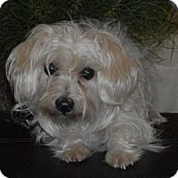Maltese Mix Dog for adoption in Palo Alto, California - Noel