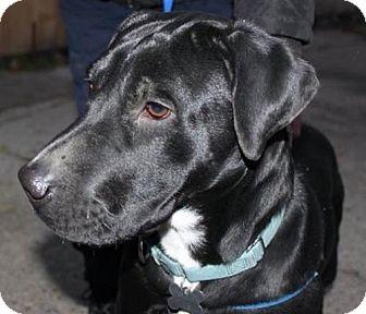 Labrador Retriever Mix Dog for adoption in Livonia, Michigan - Deanna