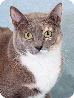 Domestic Shorthair Cat for adoption in Encinitas, California - Bitty